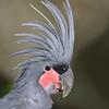 Palm Cockatoo (Probosciger aterrimus)