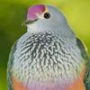 Rose-crowned Fruit-Dove (Ptilinopus regina)