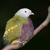 Woompoo Fruit- Dove