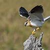 Black-shouldered Kite juvenile (Elanus axillaris)