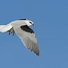 Black-shouldered Kite ( Elanus axillaris )