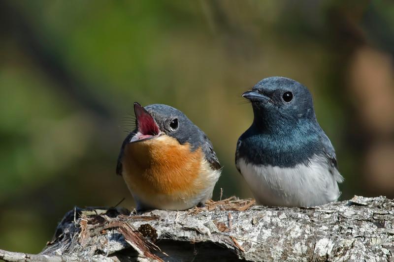 Leaden Flycatchers (Myiagra rubecula)