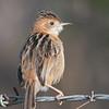 Tawny Grassbird (Cincloramphus timoriensis)