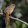 Striated Grassbird (Megalurus palustris)