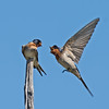 Welcome Swallows (Hirundo neoxena)