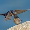 Welcome Swallows (Hirundo neoxena) exchanging food