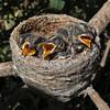 Willie Wagtail Chicks (Rhipidura leucophrys)
