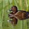 Hardhead Duck (Aytha australis)