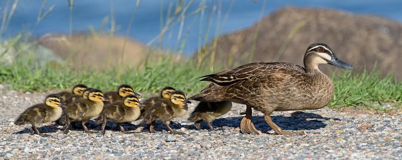 Pacific Black Duck Family (Anas superciliosa)