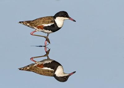 Waders/Shorebirds