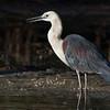 White-necked Heron, Tallebudgera, Gold Coast.