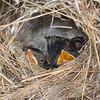 Superb Fairy-wren Chicks, (Malurus cyaneus)