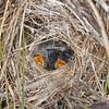 Superb Fairy-wren Chicks  (Malurus cyaneus)