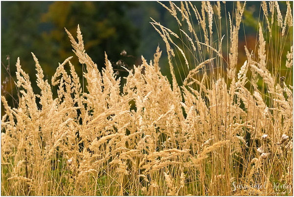 Tall grass blowing in the wind