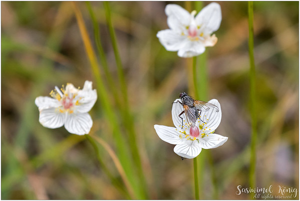 Marsh grass of Parnassus got company (Parnassia palustris)