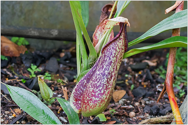 Nepenthes - Attractive tropical pitcher plant .. one of Carnivorous plants
