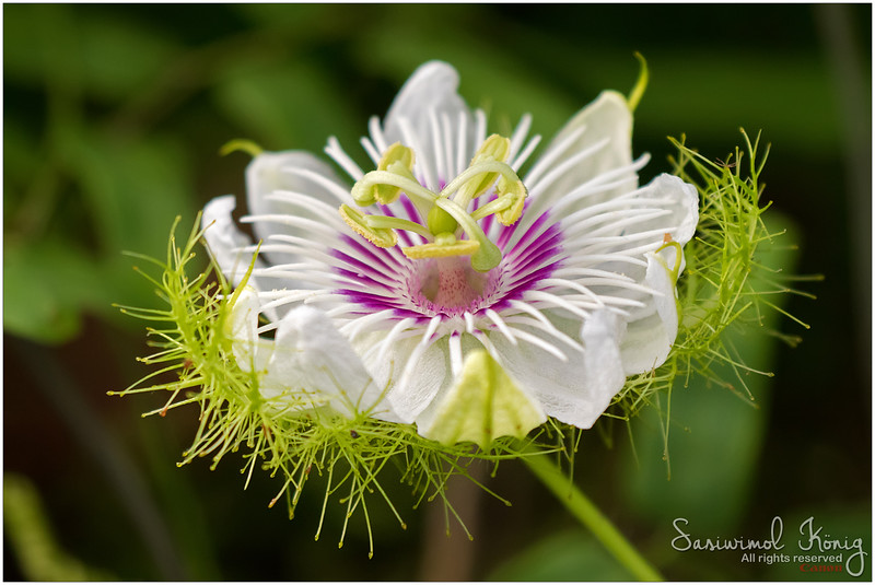Scarletfruit passionflower