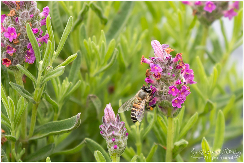 Worker bee feeding on Lavender with big balls of pollen ละอองเกสรเกาะขาผึ้ง