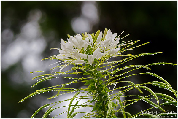 Spiny spiderflower (Cleome houtteana)