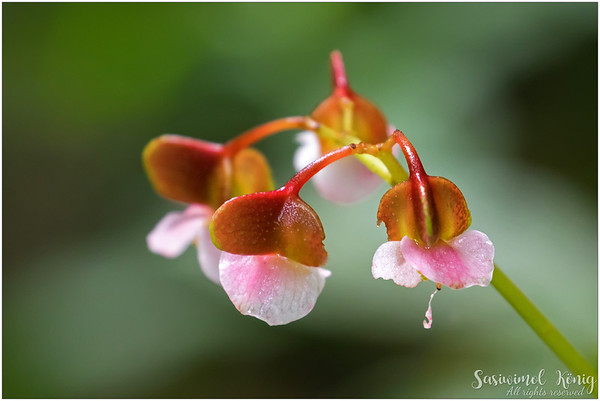 Begonia flowers under the forest canopy