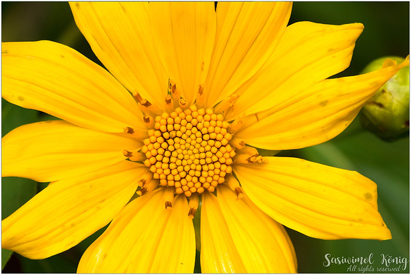 Tree marigold / Mexican sunflower