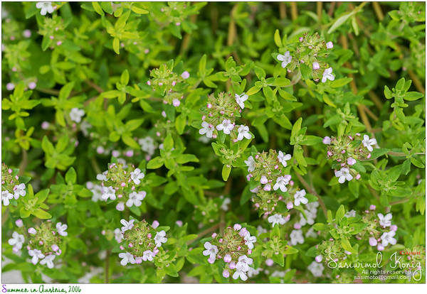 Blossoming Thyme