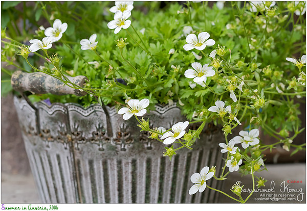 Rockfoils , Mossy Saxifrage flowers