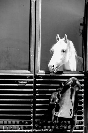 Lipizzan stallion, Imperial Stables (Stallburg), Hofburg Imperial Palace, Vienna, Austria