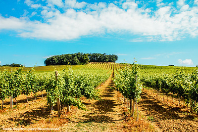 Vineyard, Saint-Puy, France