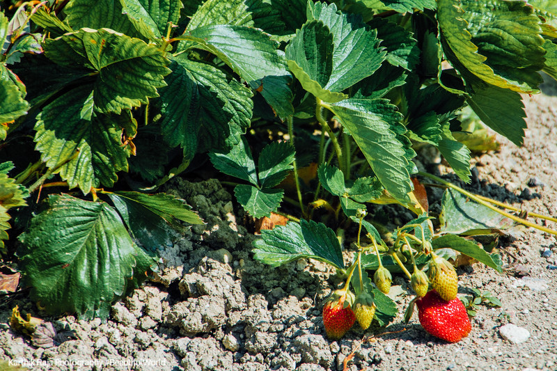 Strawberries, St.Puy, France