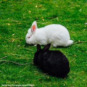 Black and White rabbit, Gastatte Schneckenmatt, Gengenbach, Black Forest, Germany