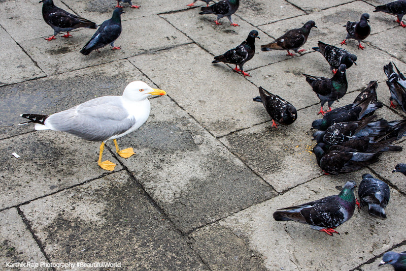 Pigeons and the Seagull, Venice, Italy