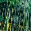 Bamboo, Ōhōjō, garden, Tenryū-ji, Arashiyama, Kyoto, Japan