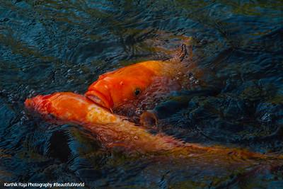 Fish, Naritasan park, Narita, Japan
