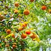 Apricot, Edo Castle Gardens, Tokyo Imperial Palace, Tokyo, Japan