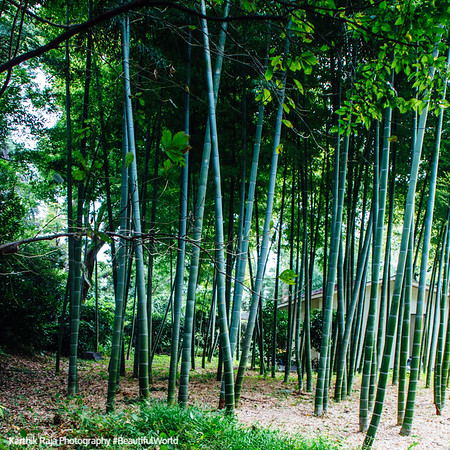 Bamboo forest, Edo Castle Gardens, Tokyo Imperial Palace, Tokyo, Japan