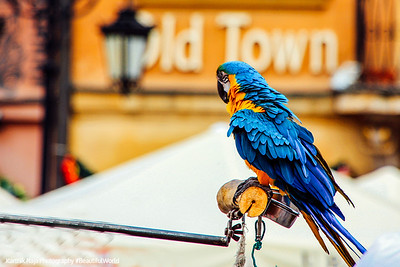 Parrot at Old Town Market Square, Warsaw