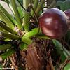 Fruit, Rio Grande, Puerto Rico