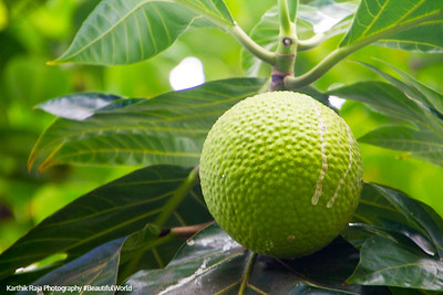 Breadfruit, El Yunque National Rainforest, Puerto Rico