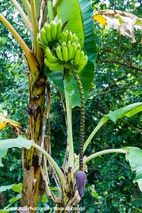Banana, El Yunque National Rainforest, Puerto Rico
