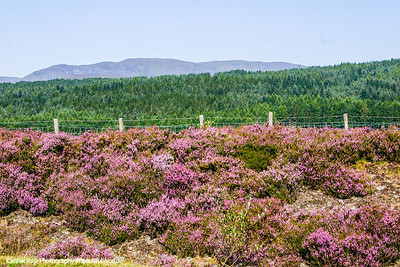 Heather flowers - Calluna vulgaris, Scotland