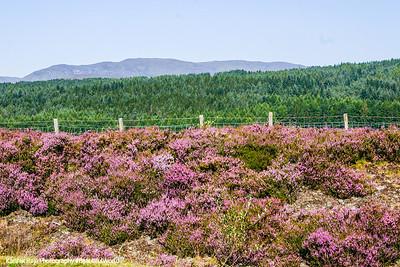 Heather flowers - Calluna vulgaris, Scotland