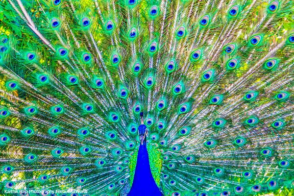 Proud peacock, zoo, Madrid, Spain
