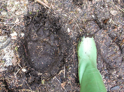 Brown Bear (Grizzly) Footprint