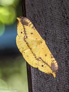 Moth (Unknown)