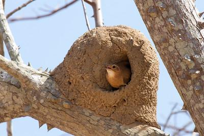 Rufous Hornero (Oven Bird)