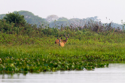 Marsh Deer Male and Female