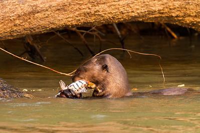 Giant Otter eating lunch