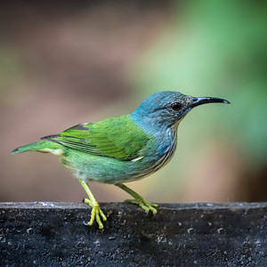 Shinning Honeycreeper (F)