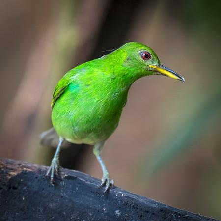 Green Honeycreeper (F)